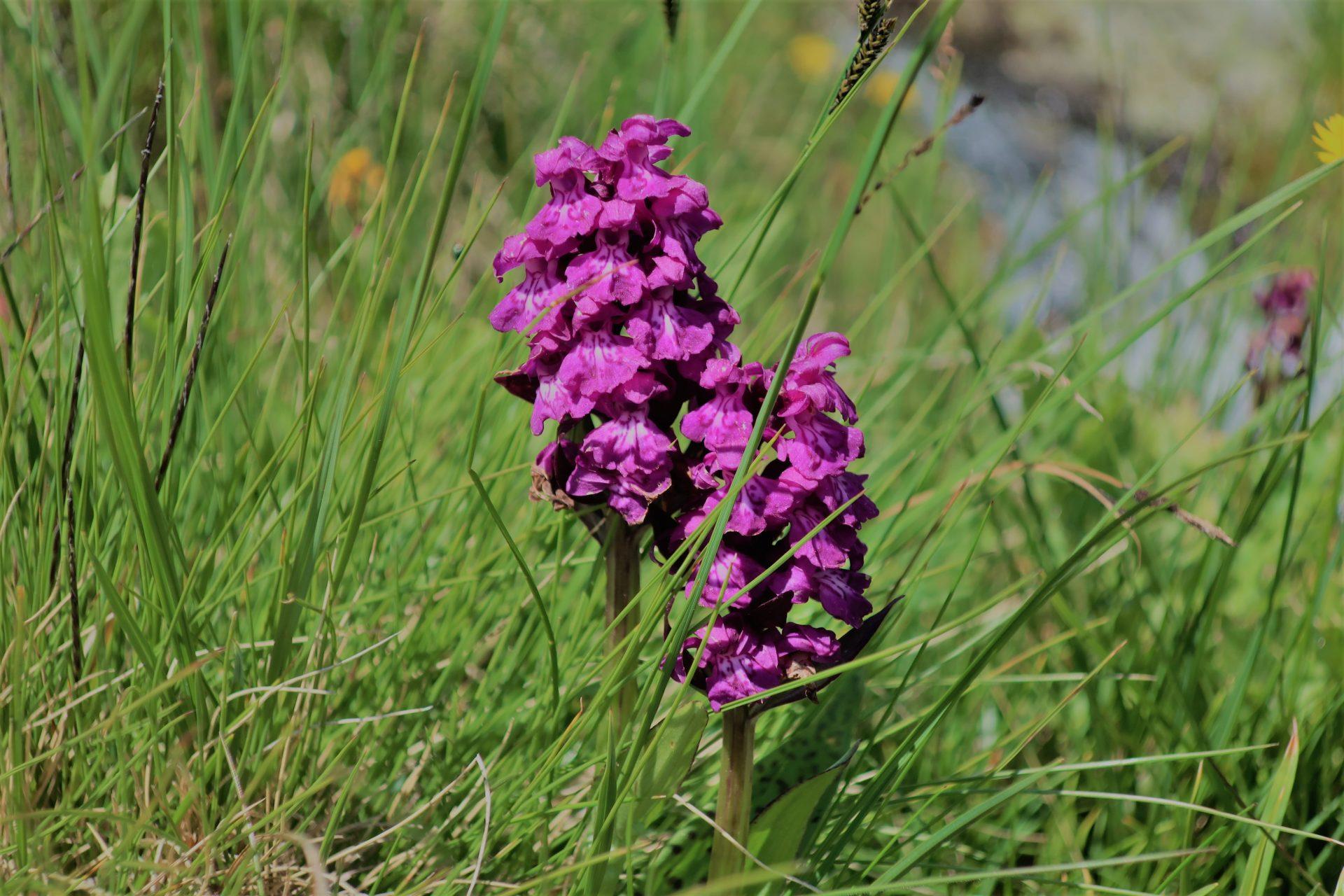 Horské orchideje